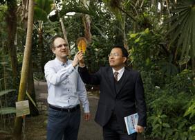 Vorher, nachher: links das Magnolienblatt, rechts die Elektrode. Jonathan Plentz (links) und Guobin Jia bauten Elektroden aus Blättern der Purpur-Magnolie. Foto: Sven Döring/ Leibniz-IPHT